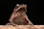 Falllaubkrötchen (Rhinella margaritifera), South American common toad