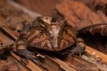 Amazonas Hornfrosch (ceratophrys cornuta) Amazon Horned-Frog