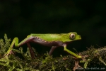 Gespenster-Makifrosch oder Weißstreifen-Makifrosch (Phyllomedusa vaillanti), White-lined Monkey Frog