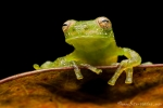 Glasfrosch (Centrolene peristicum), Dappled Glassfrog