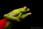 Palmar Baumfrosch (Hypsiboas pellucens), Palm Treefrog