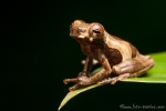 (Dendropsophus parviceps), Lesser Clownfrog