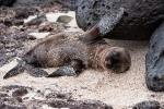 Hi - Galápagos-Seelöwenbaby (Zalophus wollebaeki)