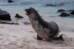 Dem gehört der ganze Strand bzw. der Harem hier - Galápagos-Seelöwe (Zalophus wollebaeki)