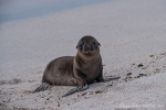 Keiner spielt mit mir - Galápagos-Seelöwenbaby (Zalophus wollebaeki)