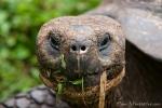 Ein wenig wie ET - Galápagos-Riesenschildkröte (Chelonoidis nigra)
