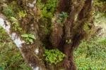 Die Bäume sind dicht mit Flechten, Moosen. Farnen und Orchideen behangen