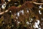 Die Bäume sind dicht mit Flechten behangen