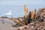Überlebenskünstler bzw. Pionierpflanzen - Lavakakteen (Kaktus Brachycereus nesioticus)