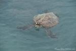 Grüne Meeresschildkröte (Chelonia mydas) auch Suppenschildkröte