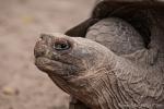 Galápagos-Riesenschildkröte (Chelonoidis nigra) - Aufzuchstation in Puerto Villamil