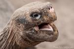 Hi - Galápagos-Riesenschildkröte (Chelonoidis nigra) - Aufzuchstation in Puerto Villamil