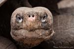 Galápagos-Riesenschildkröte(Chelonoidis nigra) - Aufzuchstation in Puerto Villamil