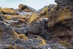 Grast an den Felsen die Algen ab - Meerechse (Amblyrhynchus cristatus)