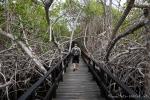 Holzsteg durch dichten Mangrovenwald