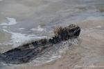 Schwimmt furchtlos an uns vorbei - Meerechse (Amblyrhynchus cristatus)