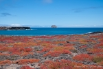 Rote Sesuvien setzen farbige Akzente auf der Insel Plaza Sur