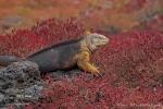 Galapagos-Landleguan in roten Sesuvien
