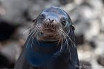 Männlicher Galápagos-Seelöwe (Zalophus wollebaeki)