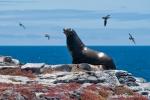 Galápagos-Seelöwe (Zalophus wollebaeki) auf Aussichtsposten