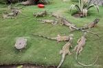 Unzählige Grüne Leguane leben im kleinen Park vor der Kathedrale und werden dort gefüttert und bewacht - Guayaquil