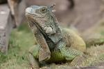 Grüner Leguan(Iguana iguana)