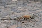 Grüner Leguan(Iguana iguana) im Park vor der Kathedrale