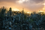 Opuntien (Kakteen) und Palo Santo Bäume im Sonnenuntergang