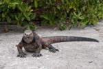 Meerechse (Amblyrhynchus cristatus) oder Marine-Iguana