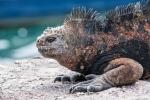 Sehen aus wie urtümliche Wesen - Meerechse (Amblyrhynchus cristatus) oder Marine-Iguana