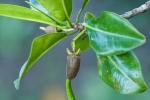 Schössling einer Mangrove