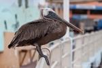 Lässt sich von uns nicht beeindrucken - Brauner Pelikan (Pelecanus occidentalis)