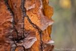 Rinde der Baumopuntie (Opuntia echiops)