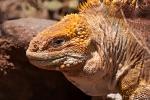 Drusenkopf (Conolophus) oder Galapagos-Landleguan