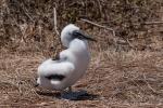 Junger Blaufußtölpel (Sula nebouxii)