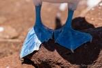Woher die Blaufußtölpel ihren Namen haben???