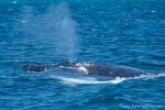 Buckelwal (Megaptera novaeangliae), Humpback Whale