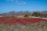 Rote Sesuvien und kahle Palo Santo-Sträucher prägen die Vegetation der Insel North Seymour