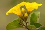 Gelbe Cordie (Cordia lutea)