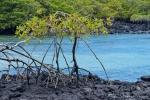 Mangrove mit ihren langen Stelzenwurzeln