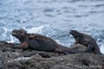 Meerechsen (Amblyrhynchus cristatus) wärmen sich auf den Lavafelsen