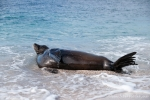 Galápagos-Seelöwe (Zalophus wollebaeki) genießt ein Bad