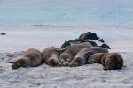 Schlafmützen - Galápagos-Seelöwen (Zalophus wollebaeki)