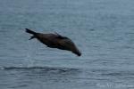 Spielender Galapagos-Seelöwe (Zalophus wollebaeki)