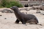 Galápagos-Seelöwe (Zalophus wollebaeki) - ziemlich flott unterwegs