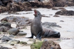 Gähn, schon wieder solche nervigen Touris - Galápagos-Seelöwe (Zalophus wollebaeki)