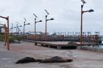 Galápagos-Seelöwen (Zalophus wollebaeki) mitten auf der Promenade von San Cristobal