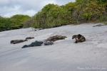 Ungewöhnliche Strandnachbarn - Galápagos-Seelöwen (Zalophus wollebaeki)