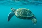 Grüne Galapagos Meeresschildkröte (Chelonia mydas agassizi)