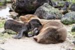 Durst - Galápagos-Seelöwenbaby (Zalophus wollebaeki)